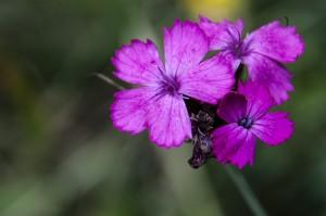 Dianthus carthusianorum (œillet des Chartreux)