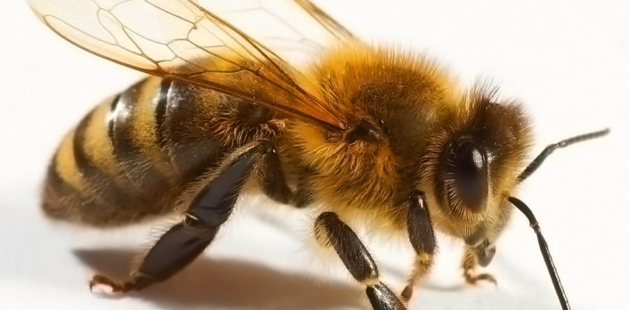 du-venin-d-abeille-contre-le-vih-900x444
